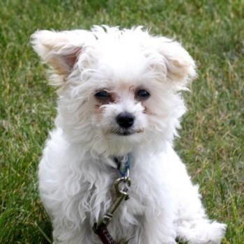 Scamp Maltipoo Puppy