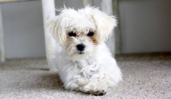 Scamp maltipoo puppy